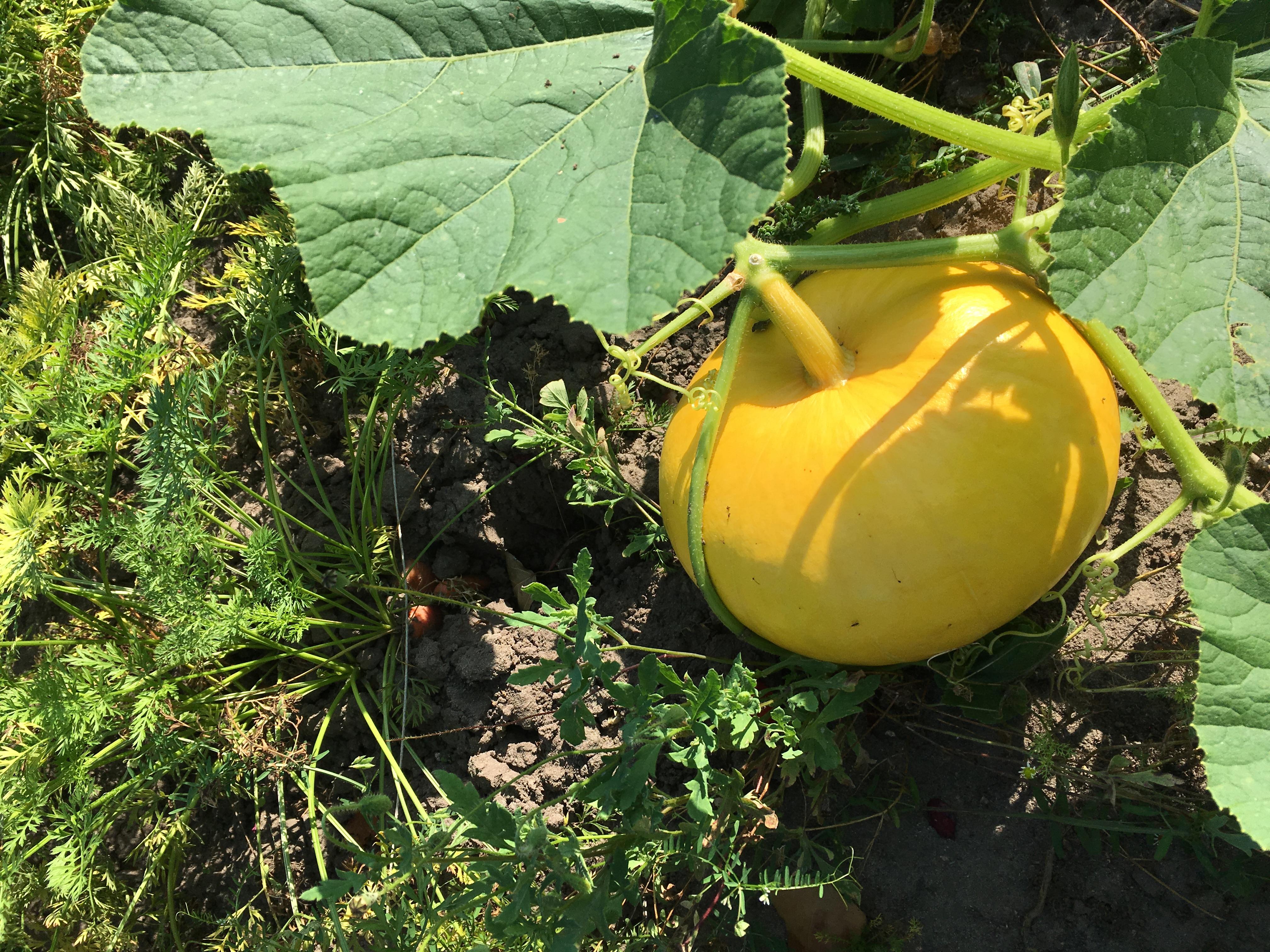 gelber Kürbis selbst angebaut